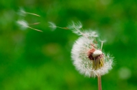 Blown_dandelions,_green_background